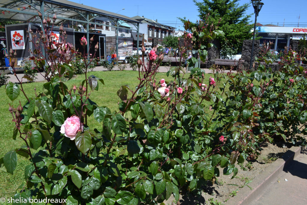 Chile Lake District Puerto Montt Roses